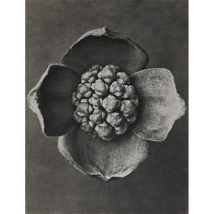 KARL BLOSSFELDT - Cornus florida
