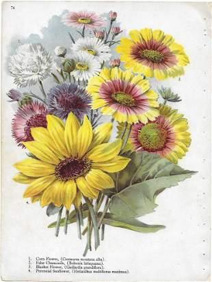 "Alois Lunzer-""Cornflower, sunflower..."" botanical print"