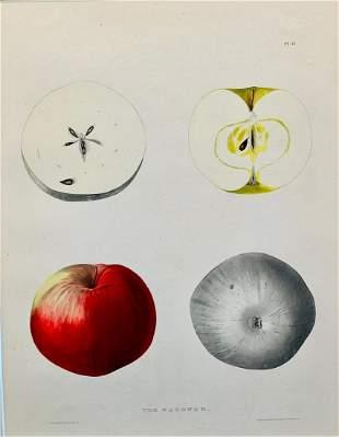 19th c Apple Engraving