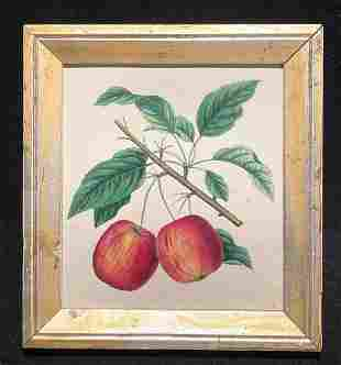 1844 red apples hand colored engraving GC
