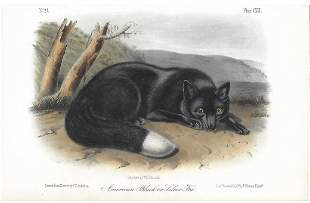 John James Audubon-American Black or Silver Fox from