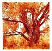 David Benjamin Sherry-Cottonwood Tree II(Orange),