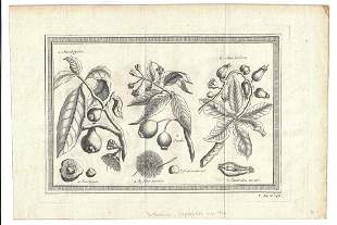 1750 Engraving of East India Fruits