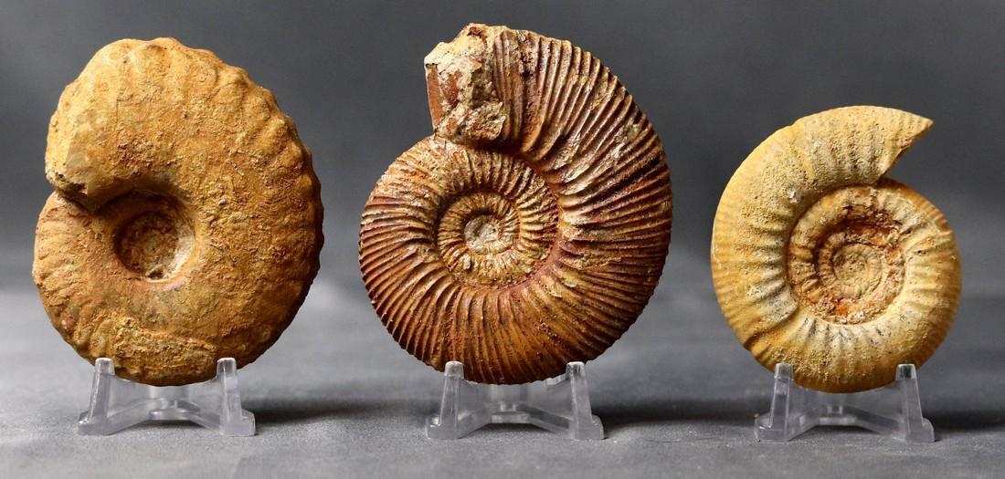 Lot of 3 Fine detail Jurassic Cephalopods - Reineckeia