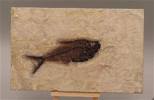 Outstanding Fossil Fish : Diplomystus Dentatus