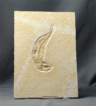 Fossil Fish : Tharsis Dubius