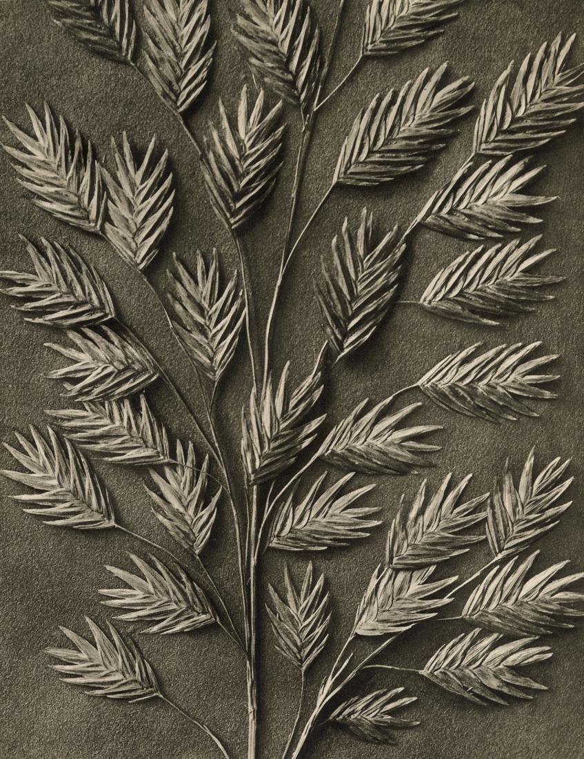 KARL BLOSSFELDT - Uniola latifolia, 1932