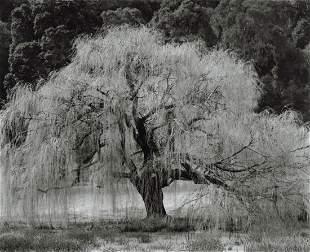 EDWARD WESTON - Willow, Santa Cruz, 1933