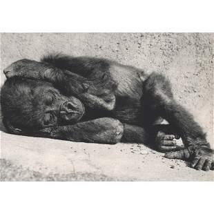 YLLA - Baby Gorilla