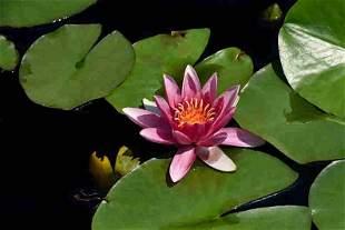 Annalaura Pretaroli: Pink Waterlily, UK - Signed -