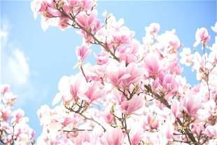 Annalaura Pretaroli: Magnolia radiance, UK - Signed -