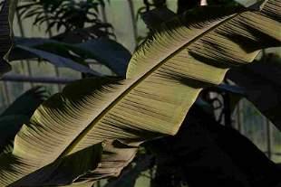 Annalaura Pretaroli: Musa x paradisiaca, UK - Signed -