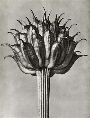 KARL BLOSSFELDT - Trollius Ledebouri (Globeflower)