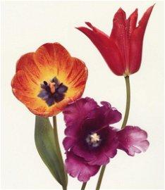 IRVING PENN - Three Tulips, New York, 1967