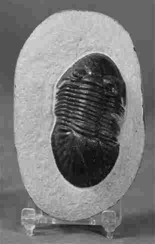 Fine Fossil Trilobite : Paralejurus Spatuliformis