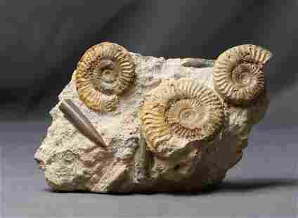 Fine Ammonite Graveyard With Belemnites - On