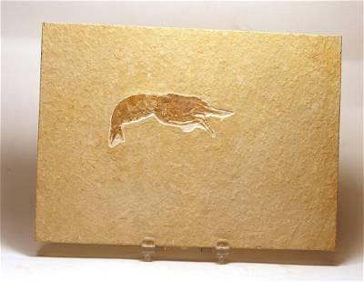 Fossil From Solnhofen : Antrimpos Speciosum