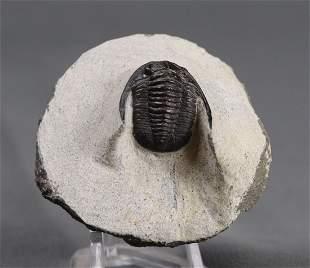 Fossil Trilobite : Diademaproetus Praecursor