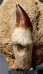 Huge Mosasaur Tooth : Prognatodon Anceps