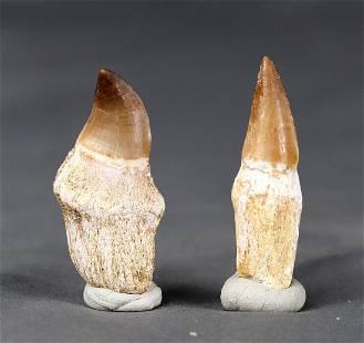 An Eremiasaurus and a Prognatodon tooth
