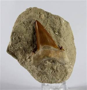 Perfect Shark Tooth On Matrix : Otodus Obliquus