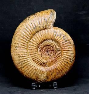 Jurassic Ammonite : Discosphinctes Tintanni