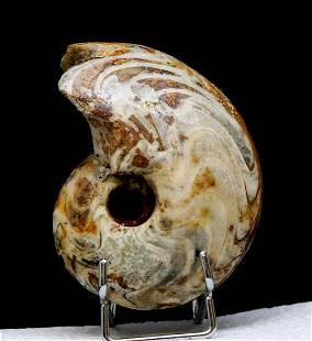 Paleozoic Ammonite : Nice Manticoceras