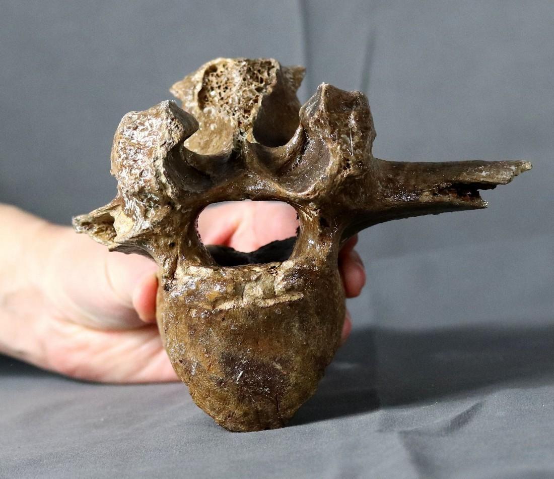 Bison Thoracic Vertebrae :bison Priscus