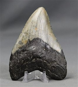 Big Megalodon Tooth