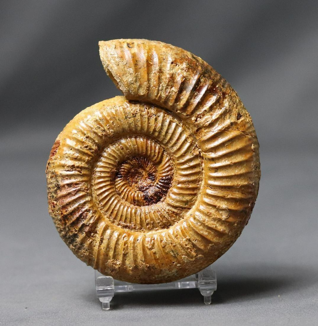 Jurassic Ammonite : Orionoides Lehmani