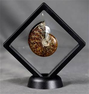 Fossil ammonite - finely displayed in floating frame