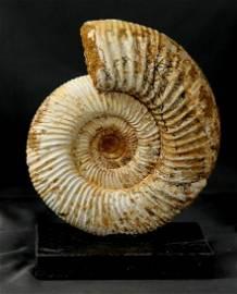 Big ammonite mounted on elegant black brasilian marble