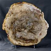 Big polished fossil wood slab