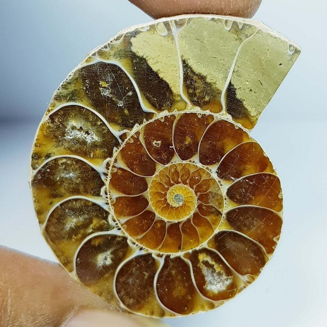 71.05 ct Natural Ammonite