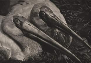 JULIUS ARNFIELD - Insatiable Couple (Pelicans)