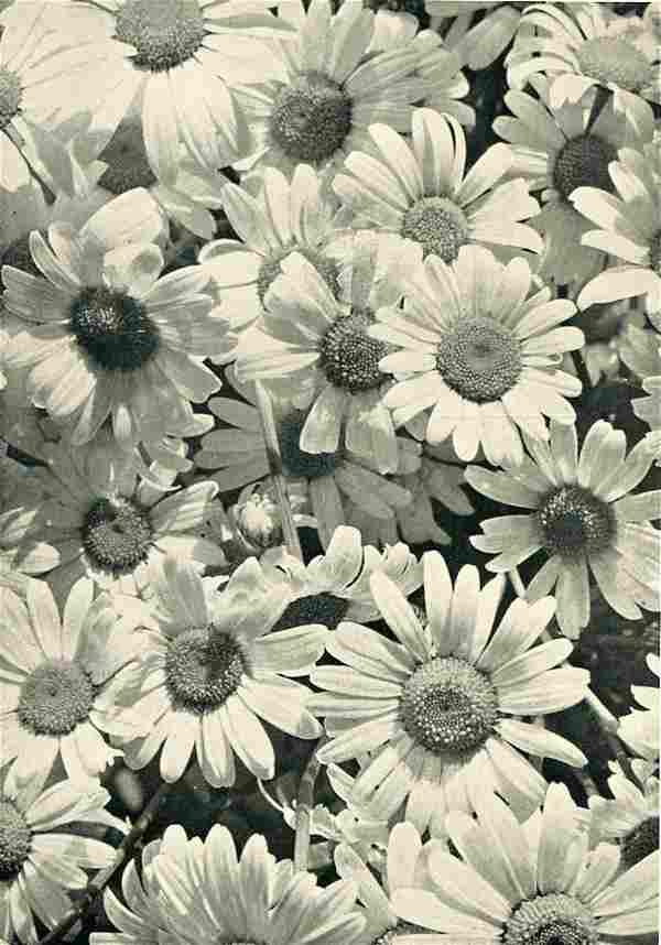 DR. ALFRED GRABNER - Ox-Eye Daisies ca 1932