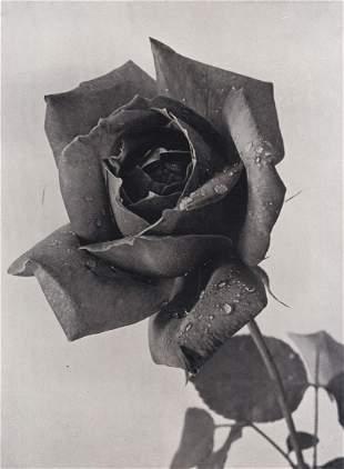 WILLEM VAN DER POLL - Rose Grande