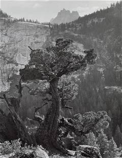 ANSEL ADAMS - Sierra Juniper, Yosemite, 1936