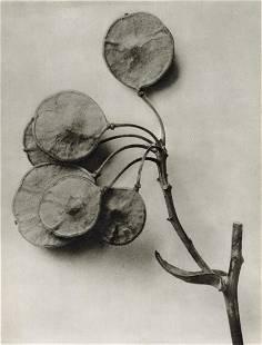 KARL BLOSSFELDT - Ptelea Trifoliata
