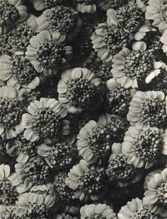 KARL BLOSSFELDT - Chrysanthemum Macrophyllum