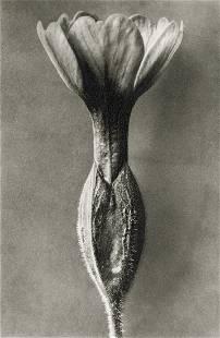 KARL BLOSSFELDT - Primula Veris