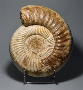 Fine ammonite - Kranaosphinctes sp.