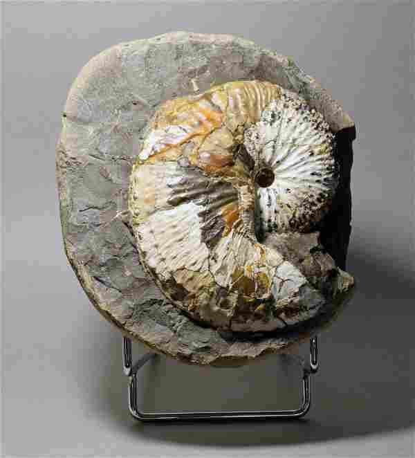 Large nacreous ammonite - Hoploscaphites nebrascensis