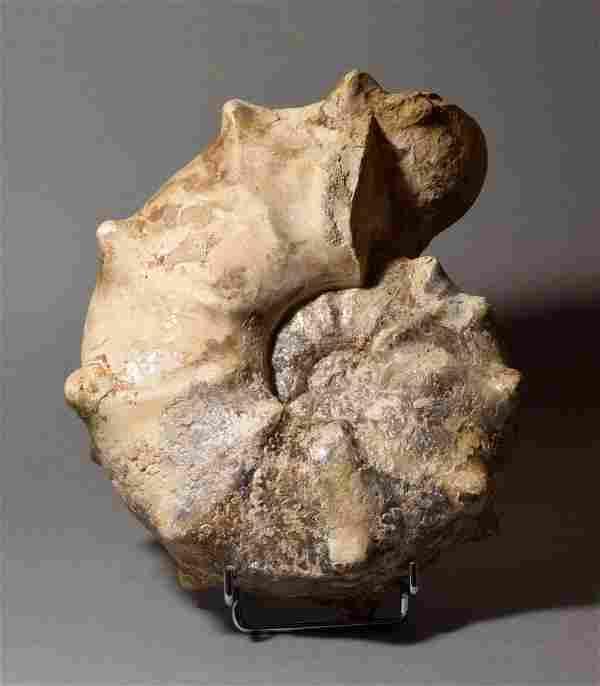 Robust and spiny ammonite - Mammites nodosoides