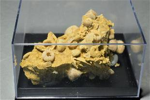 Matrix with silicified Ammonites and Echinoids - with