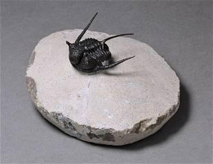 Gorgeous 3D prepared spiny trilobite - Cyphaspis