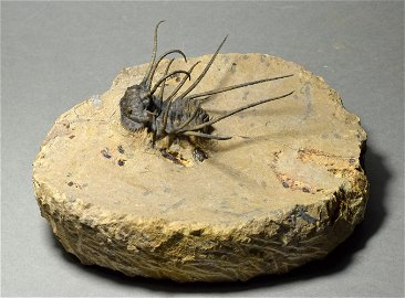 Outstanding spiny trilobite - Ceratonurus sp.