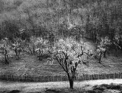 ANSEL ADAMS - Oak, Tree, Rain, Sonoma County, 1960