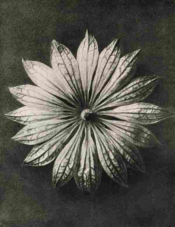KARL BLOSSFELDT - Astranita Major