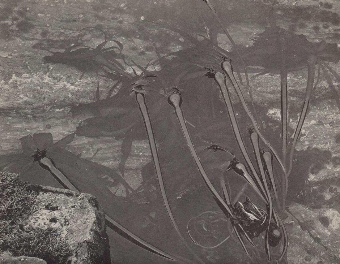 EDWARD WESTON- Floating Kelp, Tide Pool, Point Lobos ca